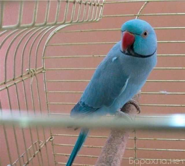 Продам: Синий ожереловый попугай(самец)