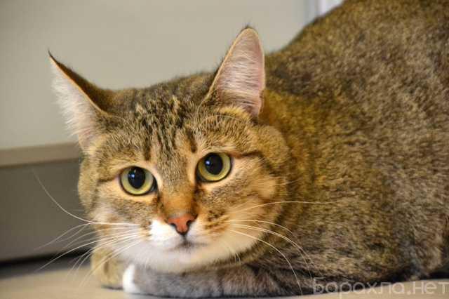 Отдам даром: Анфиса, кошка 3-4 года