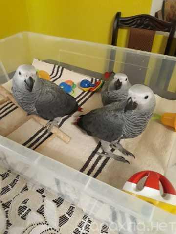 Продам: Очаровательные птенцы-выкормыши попугая