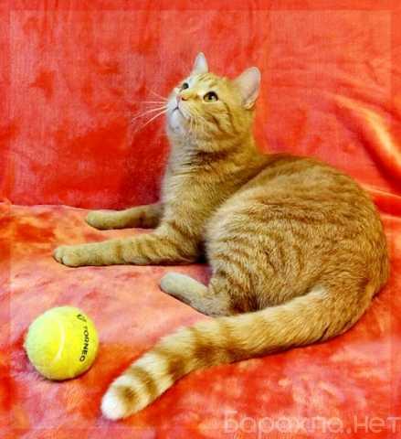 Отдам даром: Мускат.Хороший кот для хороших людей!