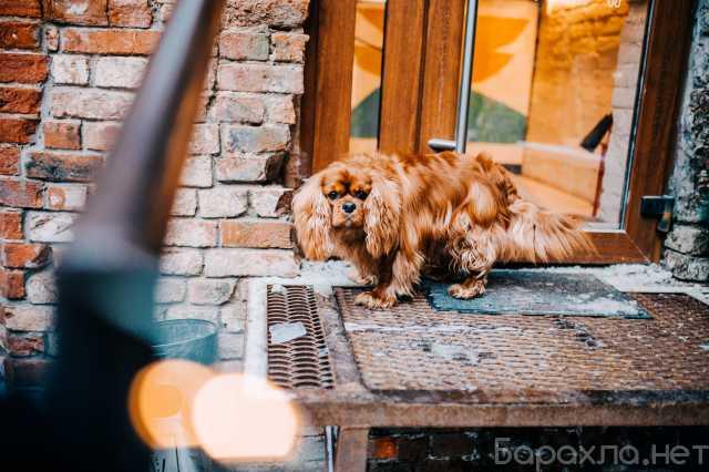 Отдам даром: собака кавалер чарльз кинг спаниель