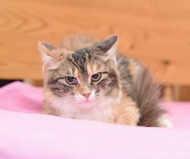 Отдам даром: Трехцветная кошечка Тося