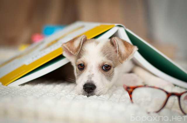 Отдам даром: Ищут дом 11 щенков — метисы той-терьера