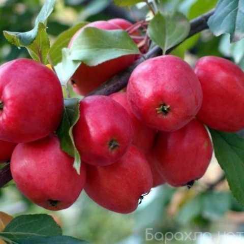 Продам: Саженцы яблони оптом и в розницу