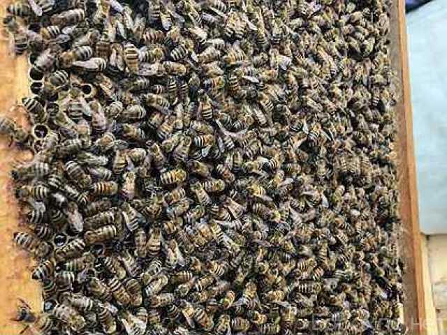 Продам: Пчелы, пчелопакеты 2021г