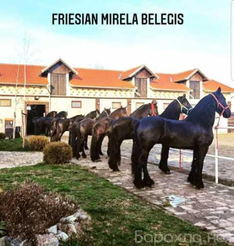 Продам: Фризская Лошадь