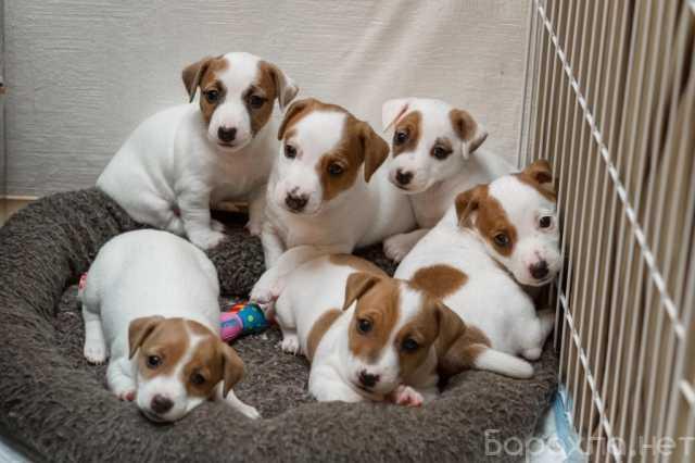 Продам: Джек расел щенки