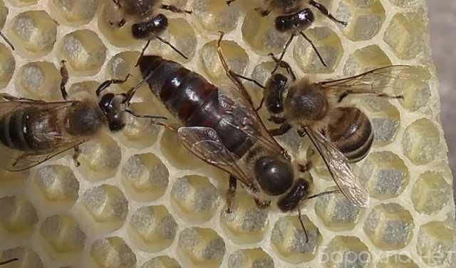 Продам: Пчелопакеты