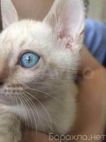 Продам: Бенгальские снежные линкс котята