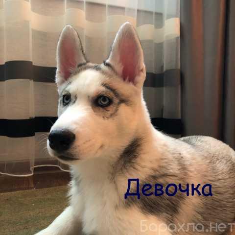 Продам: Щенков Хаски