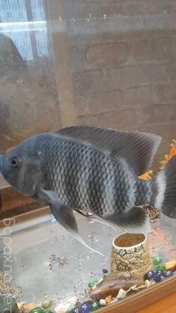Продам: Рыба. Цихлазома Тиляпия Зебровая