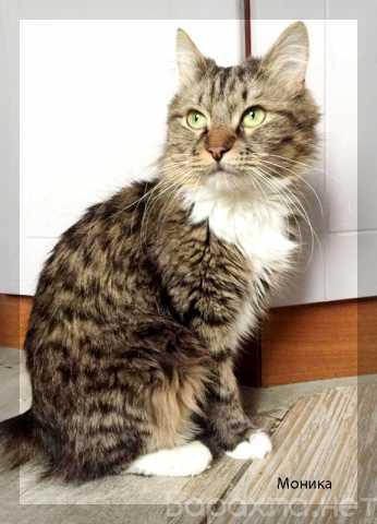 Отдам даром: Красивая спокойная кошка Моника в дар