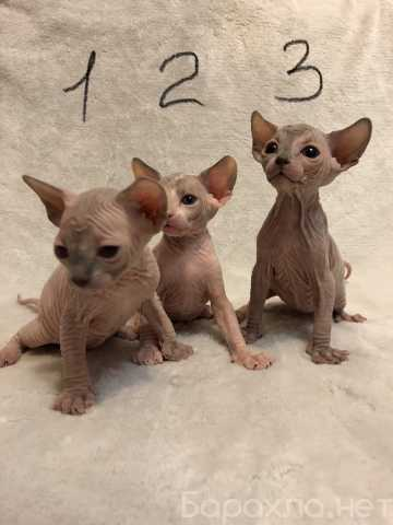 Продам: Котята сфинкс