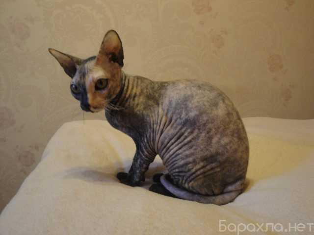 Отдам даром: бесплатно кошку сфинкс