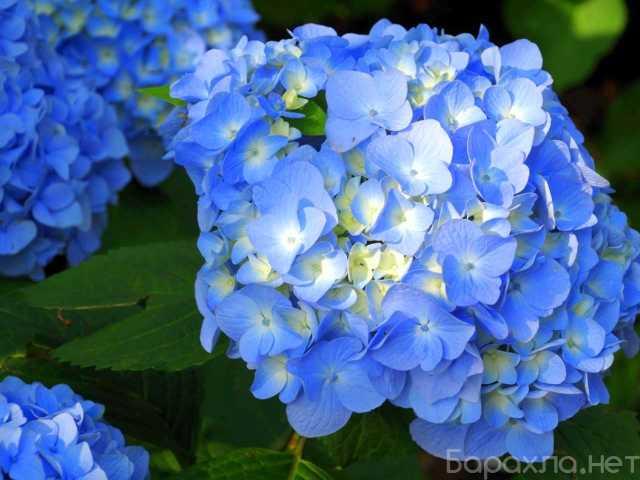 Продам: Гортензия голубая и розовая