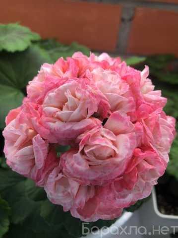 Продам: Комнатные цветы