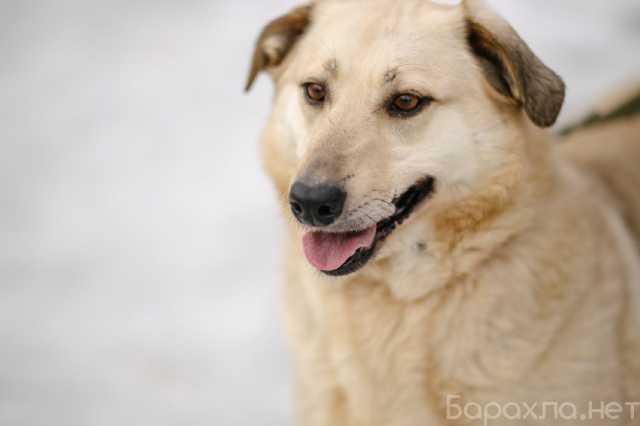 Отдам даром: Золото-собака Парма