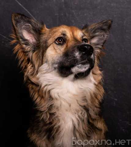 Отдам даром: Метис колли собака Малибу в добрые руки