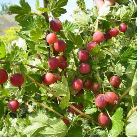 Продам: Саженцы плодовых кустарников по низким ц