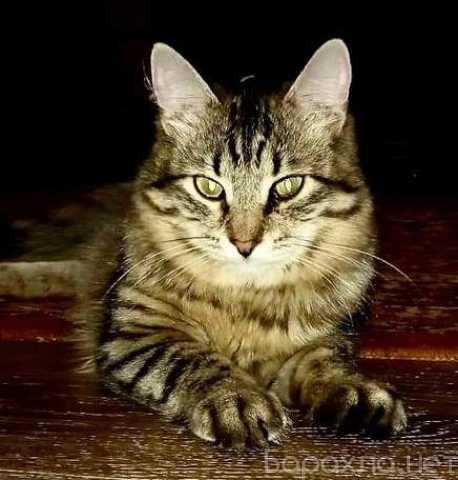 Отдам даром: Молодой котик Антоша ждет своего человек