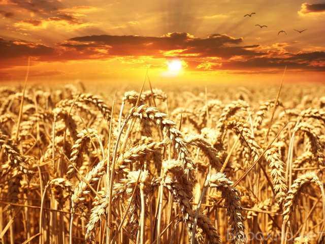 Продам: Пшеница 3 класса оптом от производителя