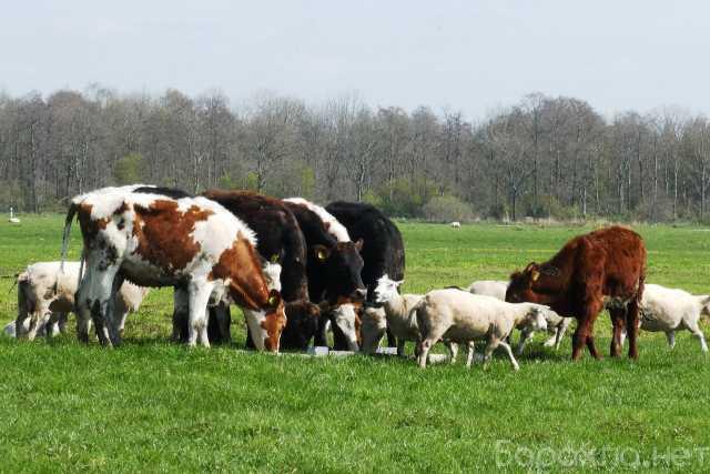 Продам: Коровы мясных пород на убой