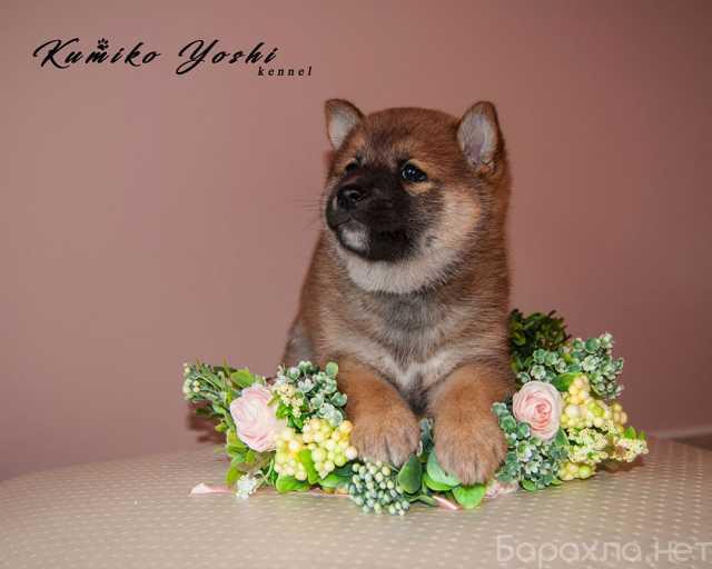 Продам: щенок сиба ину из питомника Kumiko Yoshi