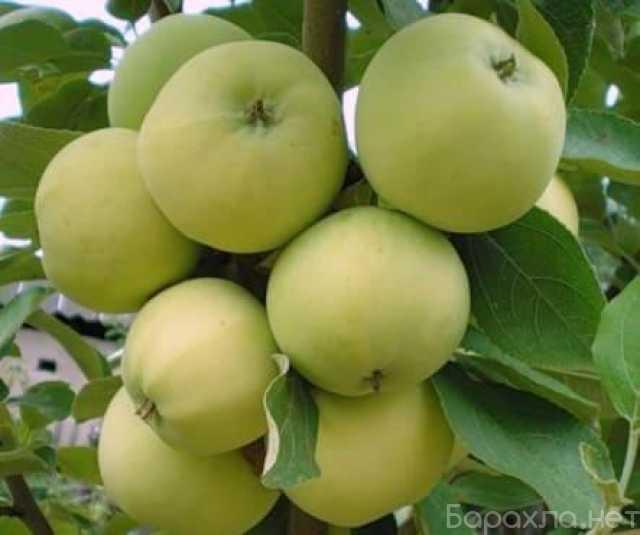 Продам: Крупномеры плодовых деревьев