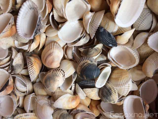 Продам: Морские ракушки с Черного в ассортименте