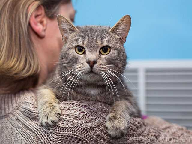 Отдам даром: Смоки, молодой домашний котик (Подробнее