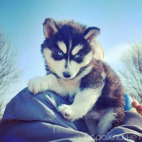 Продам: Продам щенка Сибирской Хаски