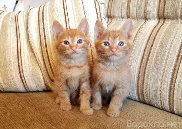 Отдам даром: Рыжие малыши котята 2 мес в добрые рук