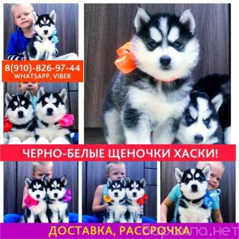 Продам: Сибирские хаски