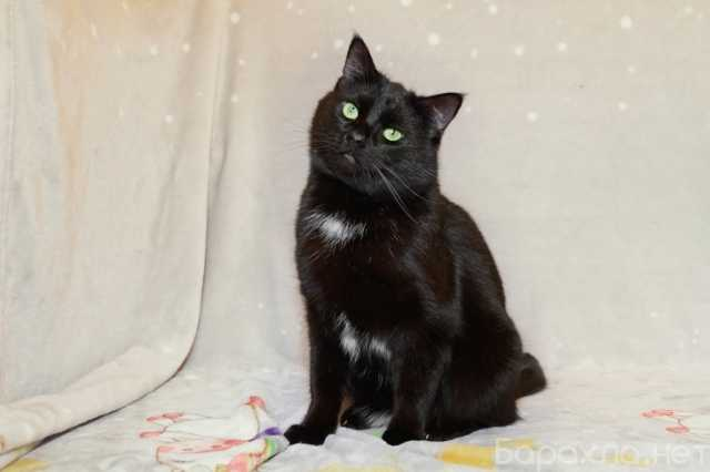 Отдам даром: Ласковый кот Сириус ищет дом