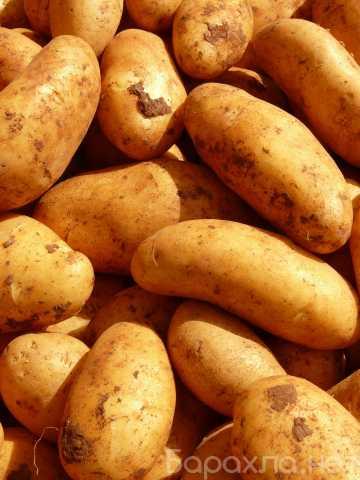 Продам: Картофель