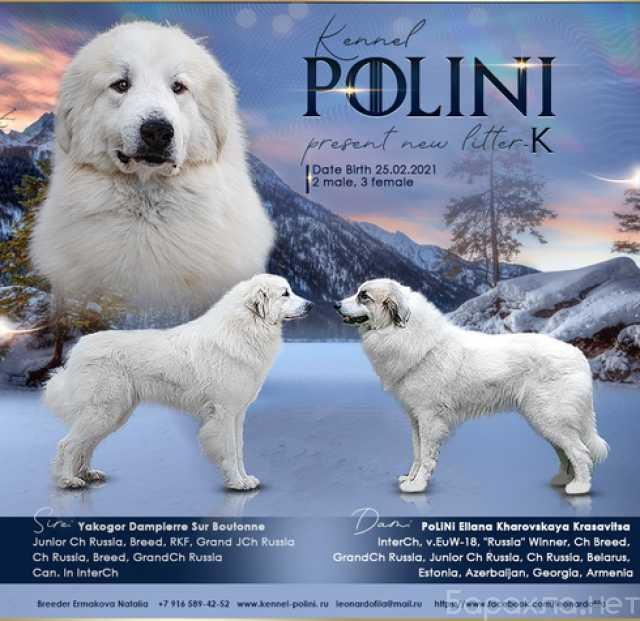 Продам: Щенки пиренейской горной собаки