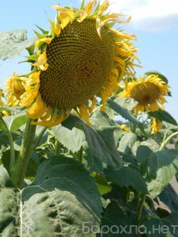 Продам: Семена гибрида подсолнечника Меркурий