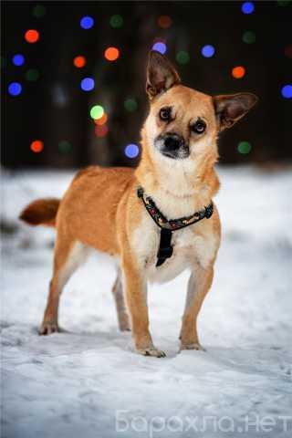 Отдам даром: Маленькая собака Сури в добрые руки