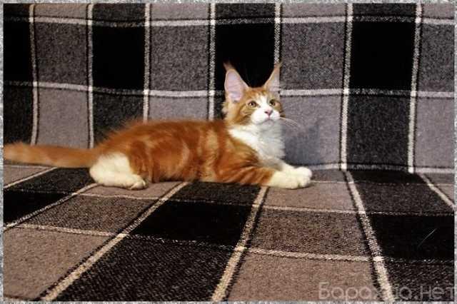 Продам: Котята мейн-куны из питомника