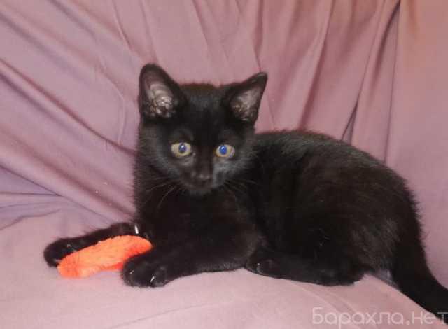 Отдам даром: Красавчик Марсель. Черный котенок 2 мес