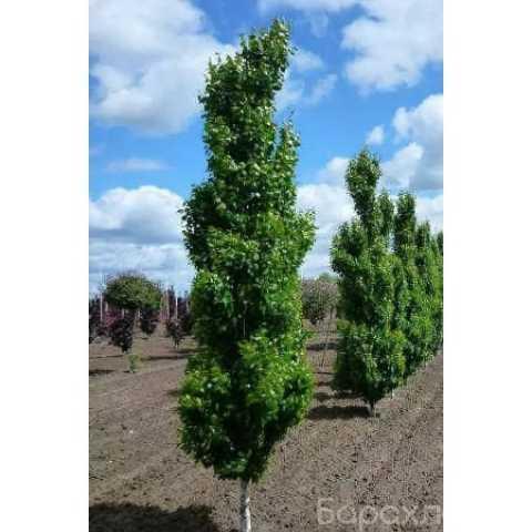 Продам: Плодовые деревья и крупномеры