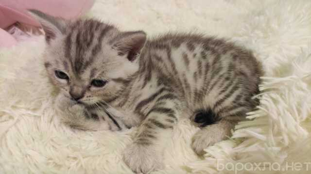 Продам: Шотландских котята