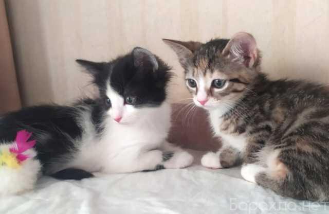 Отдам даром: Девочки-конфеточки, котята 1,5 мес в доб