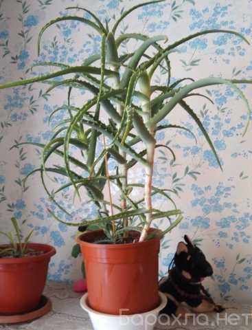 Продам: Домашние цветы :Диффенбахия и алоэ