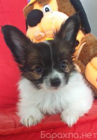 Продам: щенок папийона