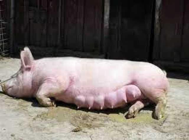 Отдам даром: Свиноматка