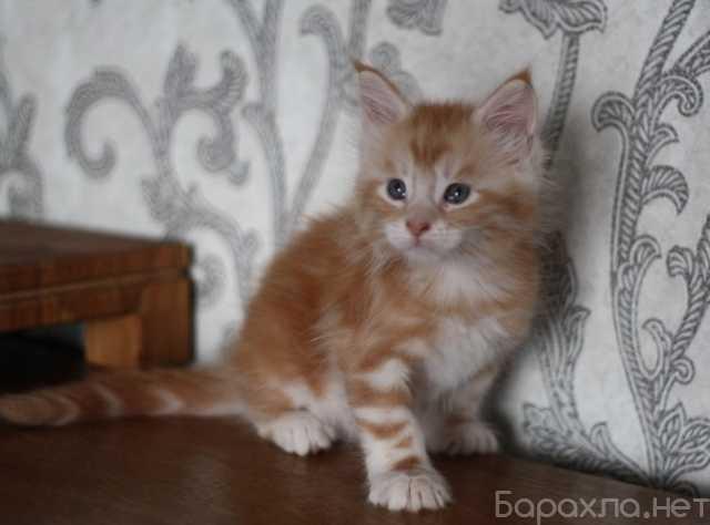Продам: Котенок Мейн-Кун