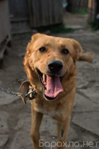 Отдам даром: Рыжая собака