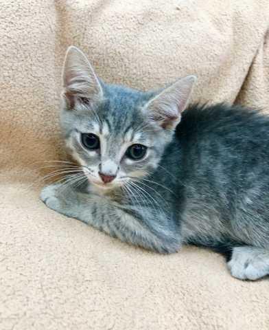 Отдам даром: Трогательный котенок Мускат в дар!