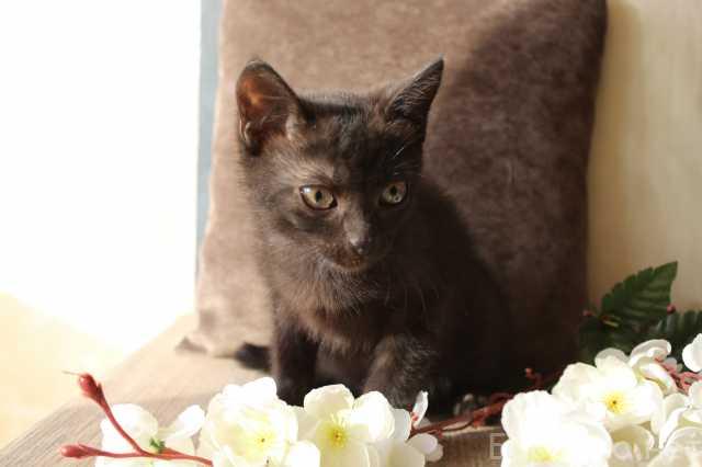 Отдам даром: Черный котенок с шоколадным оттенком